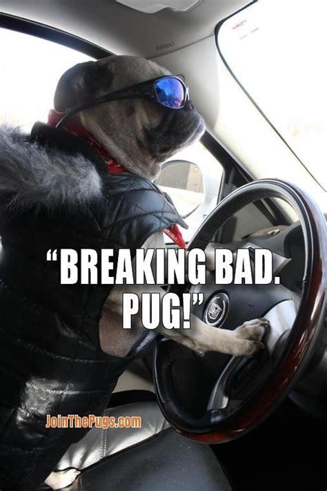 zach galifianakis pug breaking bad pug pug o my breaking bad and pug