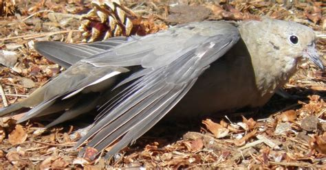 wild birds unlimited why mourning doves sun themselves