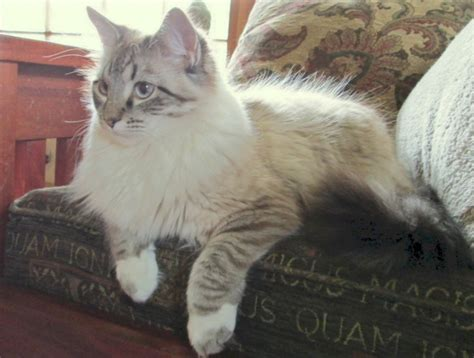 ragdoll kittens for adoption 17 best images about ragdoll cats on whiskey