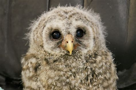 audubon center  birds  prey hosts baby owl shower