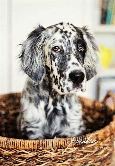setter dog fable 3 best 25 spotted dog ideas on pinterest dog cat pet 1