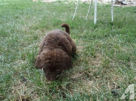 labradoodle puppies for sale in iowa chocolate labradoodle puppies for sale in clermont iowa classified americanlisted