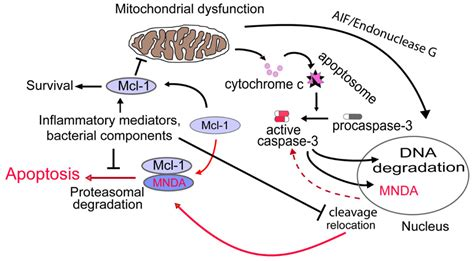 How To Detox Apoptotic Nuclear Antigen by Frontiers Myeloid Nuclear Differentiation Antigen