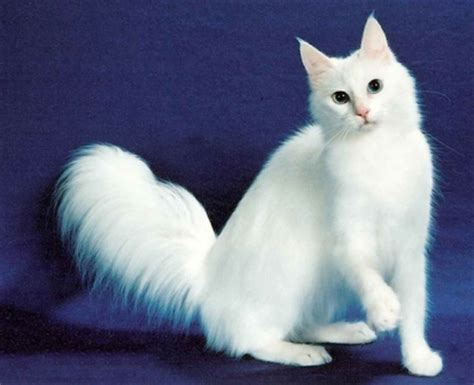 long haired white cat breeds | pets world