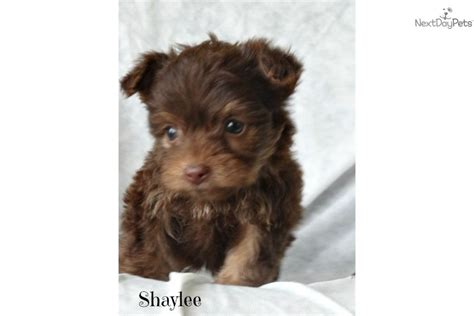 teacup yorkie breeders in ky teacup yorkie poo puppies for sale in ky breeds picture