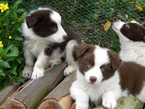 purebred border collie puppies for sale of brindle coats to what breeds of brindle breeds picture