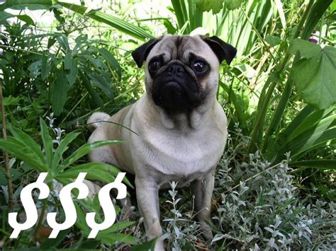 how much would a pug cost how much is a pug guide to buying a pug puppy