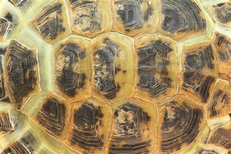 Bathroom Designs Small Spaces Turtle And Tortoise Shells Turtle Shell Health