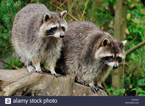 what color are raccoons raccoon procyon lotor common raccoon american