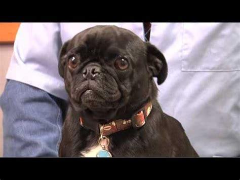 pug nosed the pug breed breeds funnydog tv