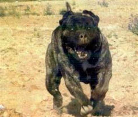 black wolf hybrid puppies wolf hybrid puppies car interior design