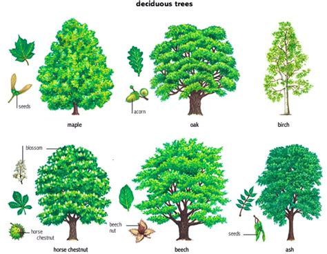 woodland forest plants and trees deciduous trees pearltrees