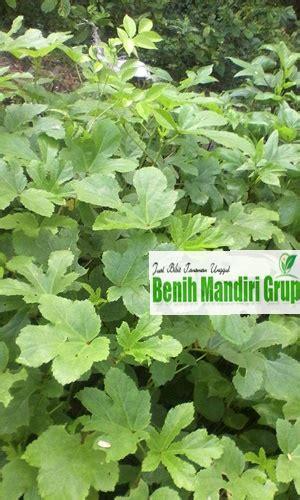 Jual Bibit Tanaman Okra Di Surabaya jual bibit tanaman okra bibit tanaman unggul