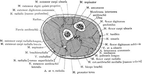 forearm cross section cross section through forearm two inches below elbow