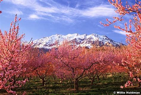 cherry tree utah 334 best utah images on