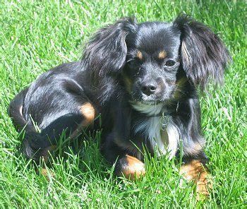 pomeranian hybrid cavapom cavalier king charles spaniel pomeranian hybrid dogs family members c s