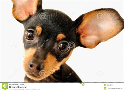 puppies with big ears with big ears stock images image 8224624