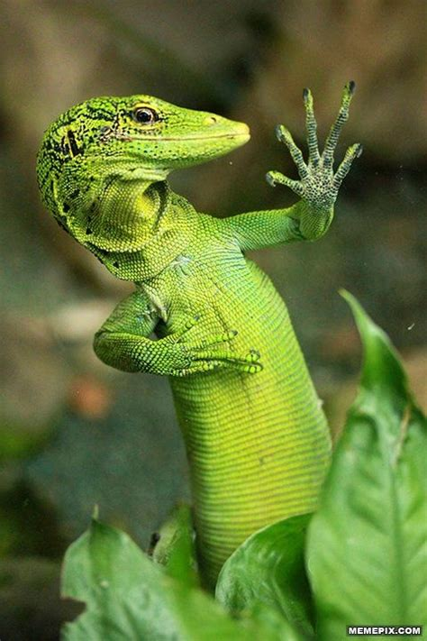 happiness is a gecko and times of a doctor books ridiculously photogenic lizard memepix high five