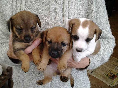chihuahua cross yorkie puppies russel cross chihuahua cross yorkie puppies ilkeston derbyshire pets4homes