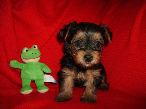 pictures of teacup yorkie poo puppies yorkiepoo terrier poodle mix info temperament diet puppies