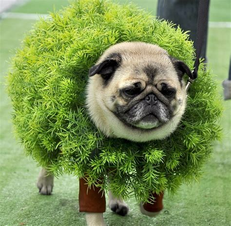 costumes for pugs 27 best images about pug costumes for chewy on costumes animal