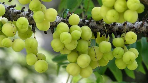 Amla Gooseberry For Hair by Indian Gooseberry For Hair Gooseberry Benefits Gooseberry