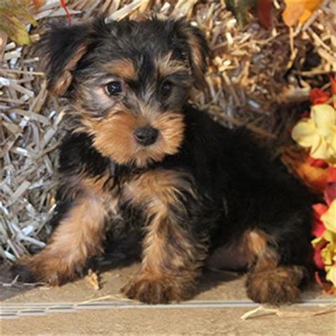black yorkie puppy terrier puppy sale black gold sold bark avenue puppies