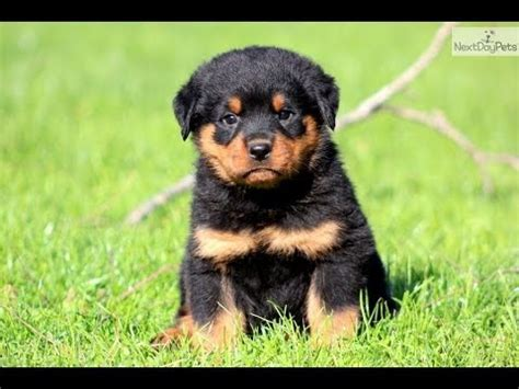 rottweiler puppies for sale tn rottweiler puppies dogs for sale in tennessee tn 19breeders
