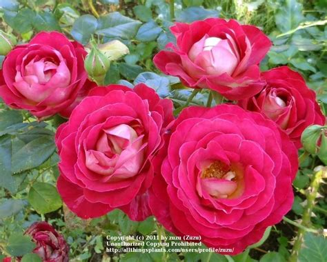What Is My Gardening Zone - photo of the bloom of rose rosa castilian posted by zuzu garden org