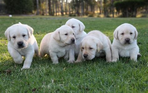 Row Homes by Puppy Raisers Needed Guide Dogs Nsw Act