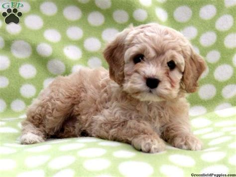 teacup cockapoo puppies for sale pin by endar vitria on baby animals