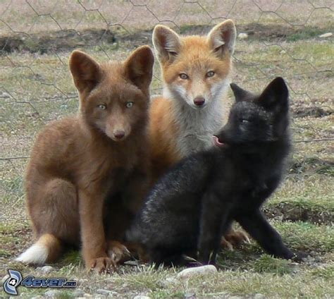 colors of foxes zorros