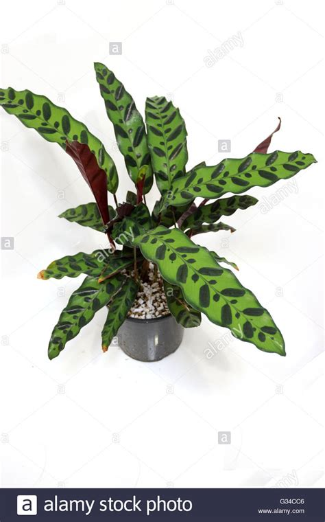 Calathea Lancifolia Insignis Rattlesnake Plant calathea insignis or calathea lancifolia or also known as stock photo royalty free image