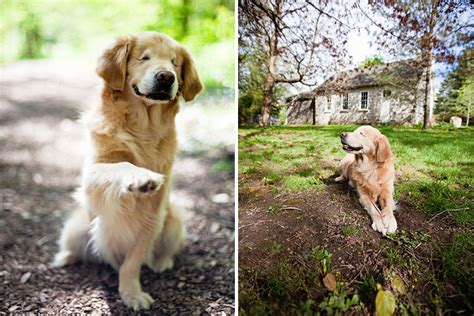 golden retriever therapy dogs born without smiley the golden retriever becomes therapy for mentally ill