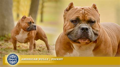 pocket bully pocket the american bully registry