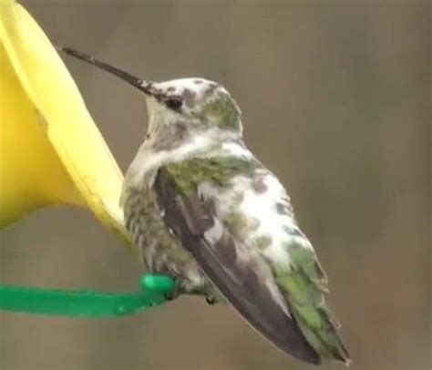 rare piebald anna s hummingbird due to coloration called