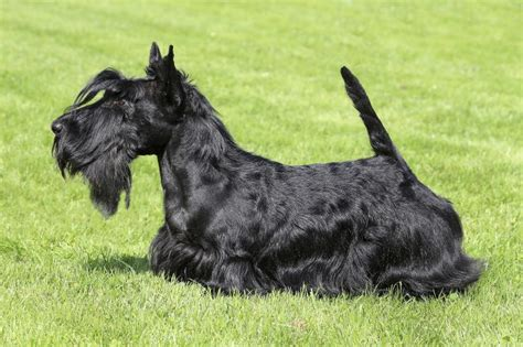 types of scottie grooming styles scottish terrier grooming styles dogs our friends photo blog
