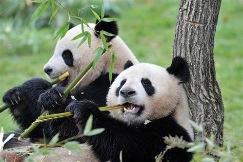 panda china fancy learning pandanese researchers uncover