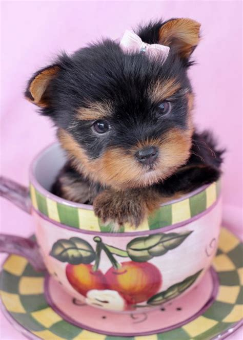 caring for yorkies care for miniature terriers dogs in our photo