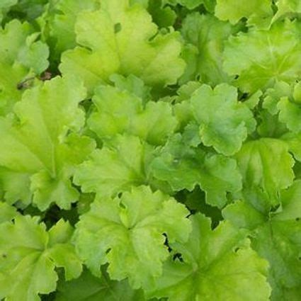 Happy Hour Lime Rickey by Lime Rickey Coral Bells Nature Nursery