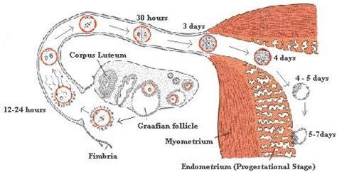 implantation diagram how pregnancy occurs