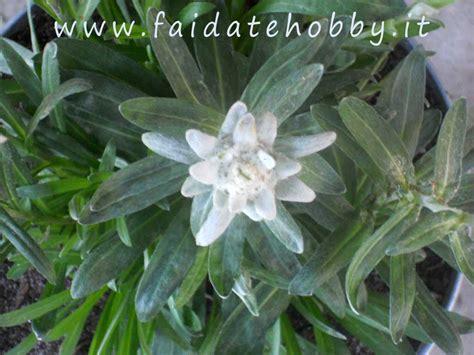 la stella alpina fiore coltivazione della stella alpina