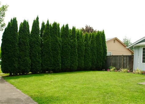 privacy trees for backyard www pixshark com images