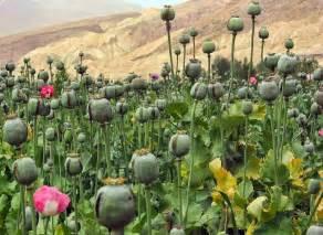 Opium ayurvedic gyan afim opium poppy papaver somniferum
