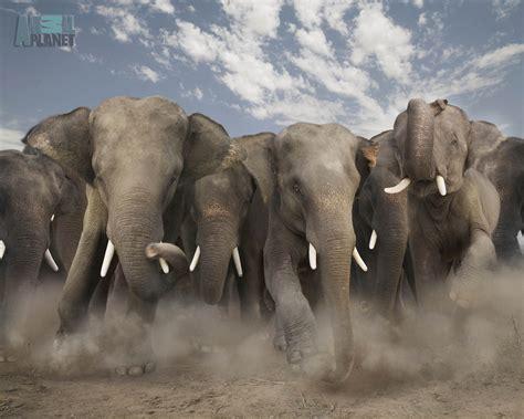 cool elephant wallpaper animals wallpapers elephant wallpaper