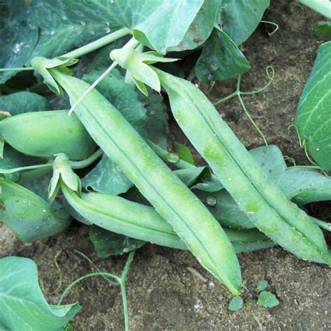 types of garden peas heirloom pea varieties organic gardening earth news