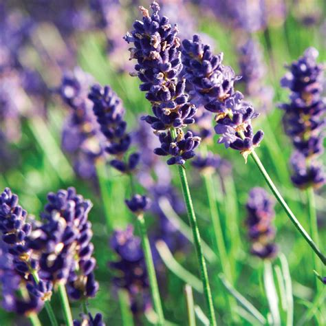 growing lavender tinybloomingplaces co uk