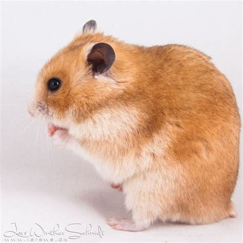 hamster colors 91 best syrian hamster colours images on