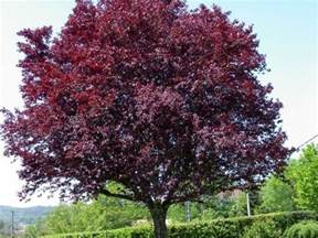 purple leaf plum ornamental with small edible fruit as
