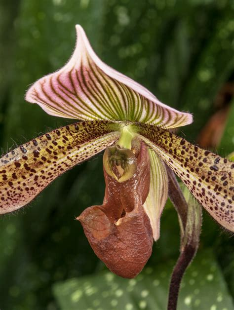 s slipper orchid lady s slipper orchid mike powell
